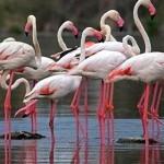 Фламинго в Сардинии